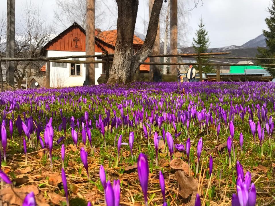 Закарпатье Колочава Карпаты первоцветы крокус