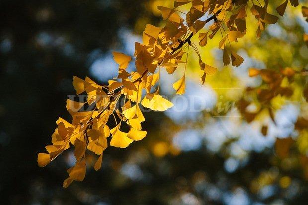 Гінкго – ще одна зелена «родзинка» Ужгорода