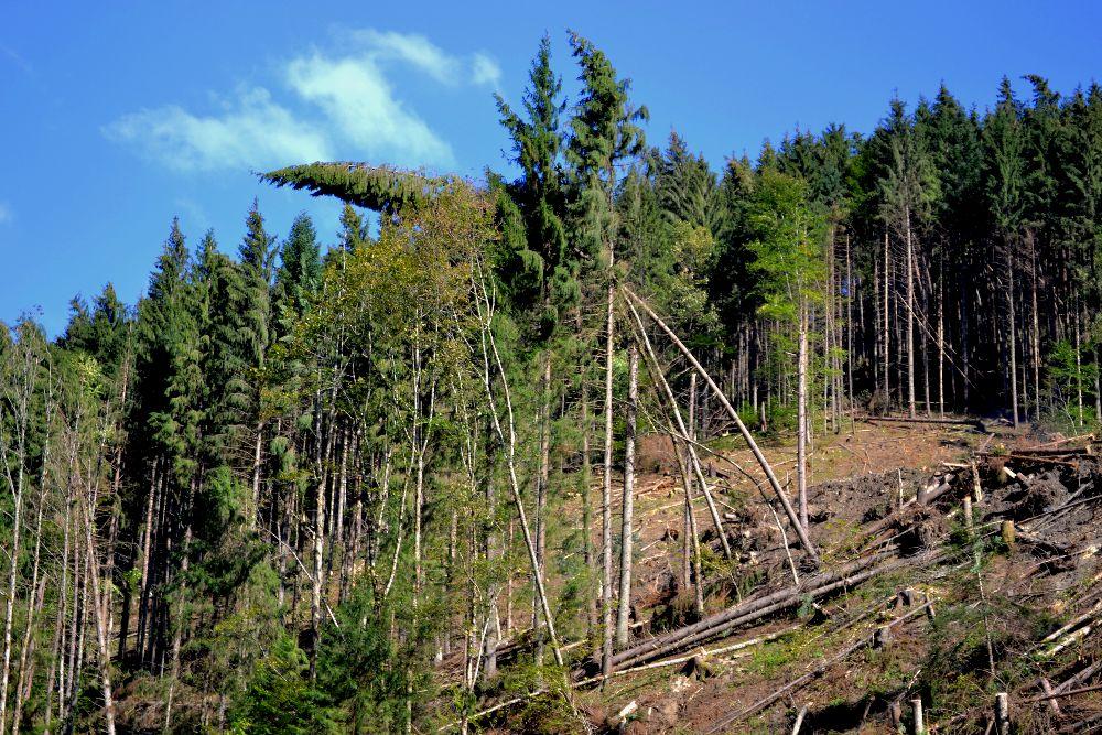 Останнім буреломом у 2-х районах Закарпаття знищено більше тисячі гектарів лісу
