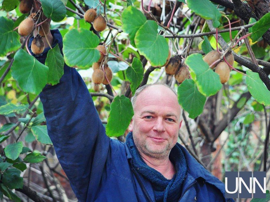 Збрі врожаю єдиного в Україні морозостійкого сорту ківі триває в Ужгороді