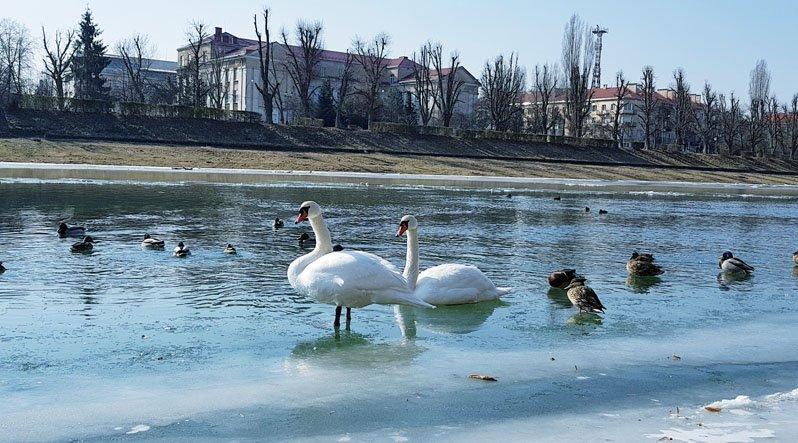 В Ужгороді примерзлого до льоду лебедя приїхали визволяти рятувальники