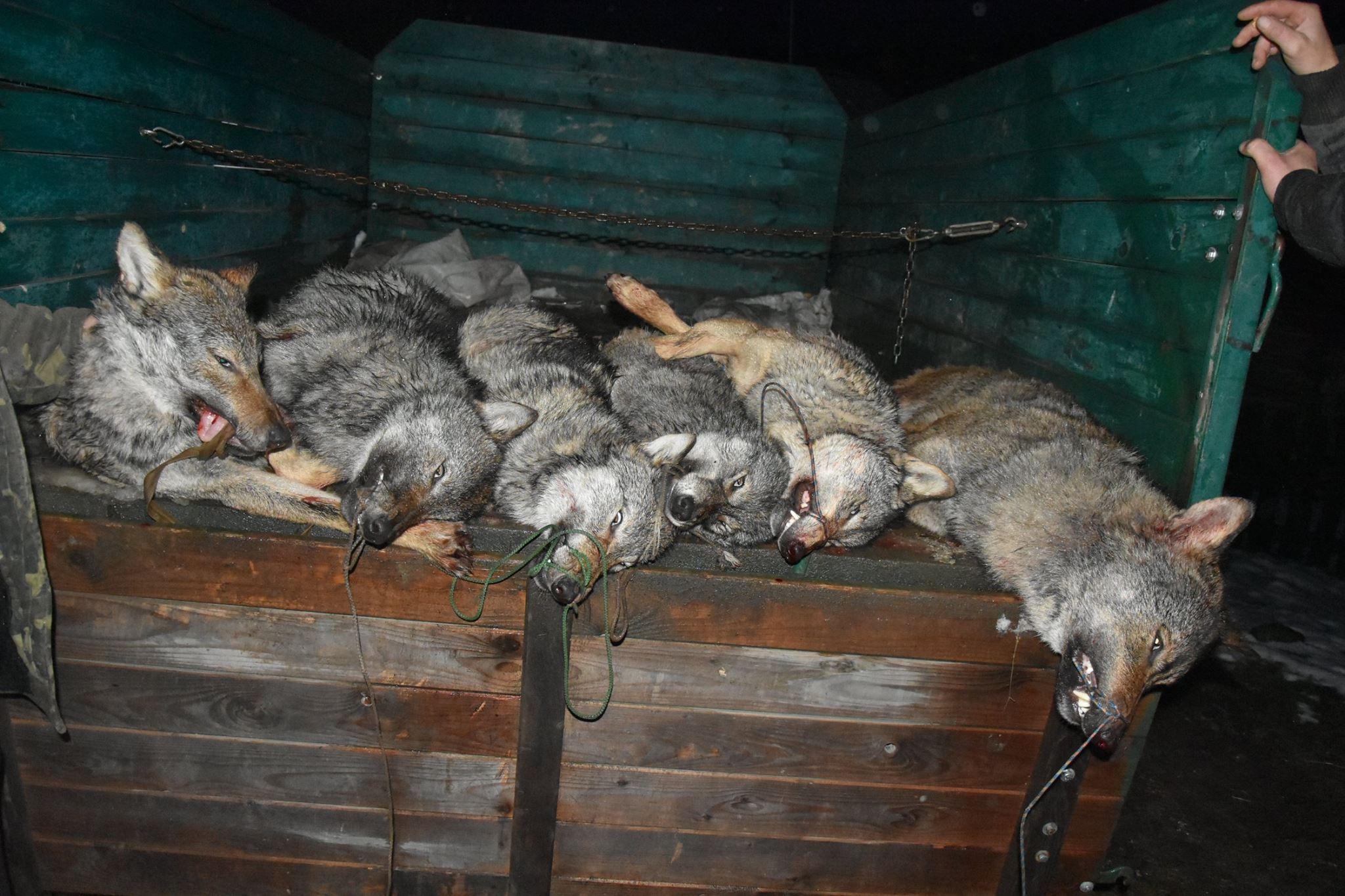 Люди у соцмережі обурені — на Закарпатті застрелено шість вовків.