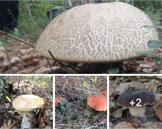 В Закарпатье уже во всю собирают осенние грибы