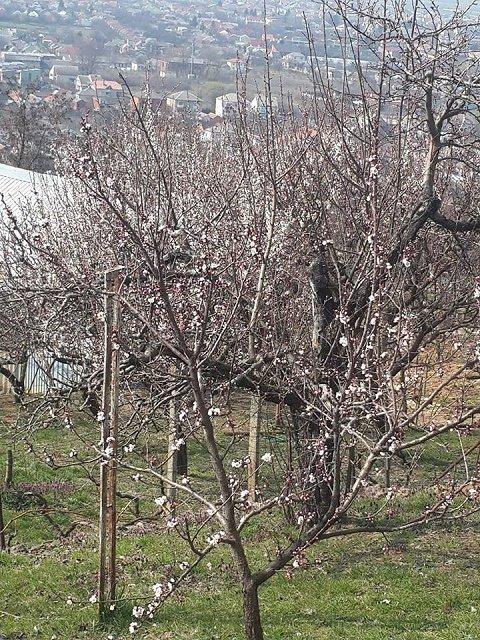 Фермер из Винаградово Наталья Мартишинец опубликовала кадры с цветущими абрикосами