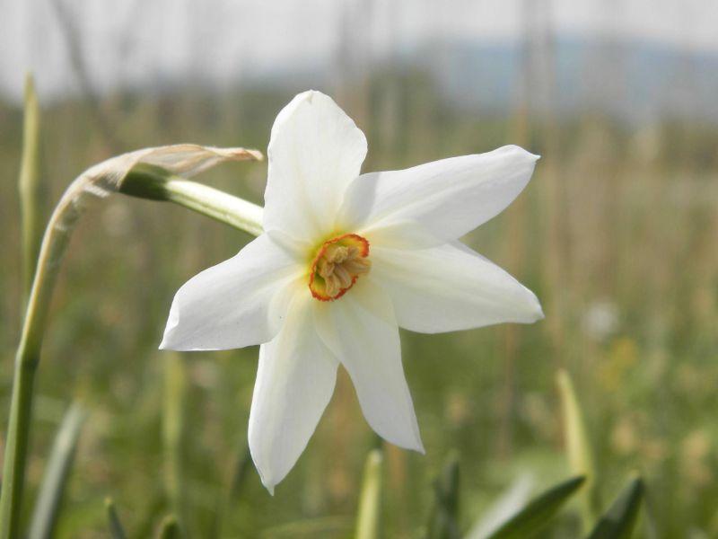 В Закарпатье цветет Долина нарциссов