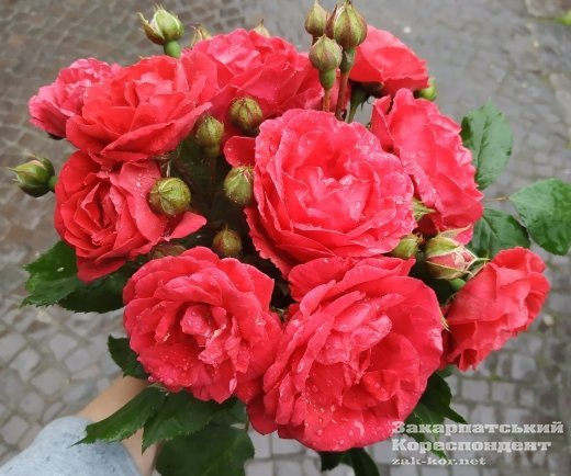 В Ужгороді квітують троянди — рожеві, бордові, червоні
