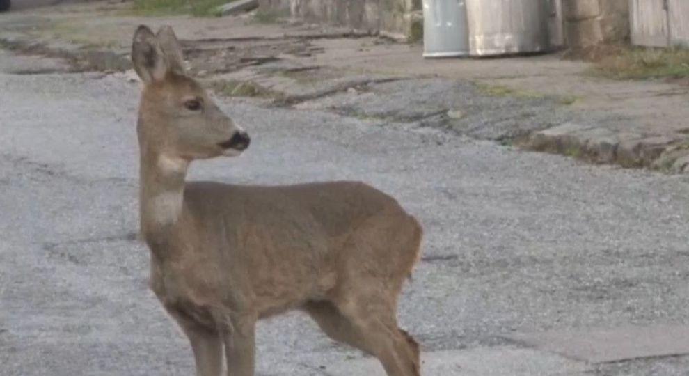 Поліцейський у сусідів Закарпаття допоміг дикому оленятку дістатися рідного лісу