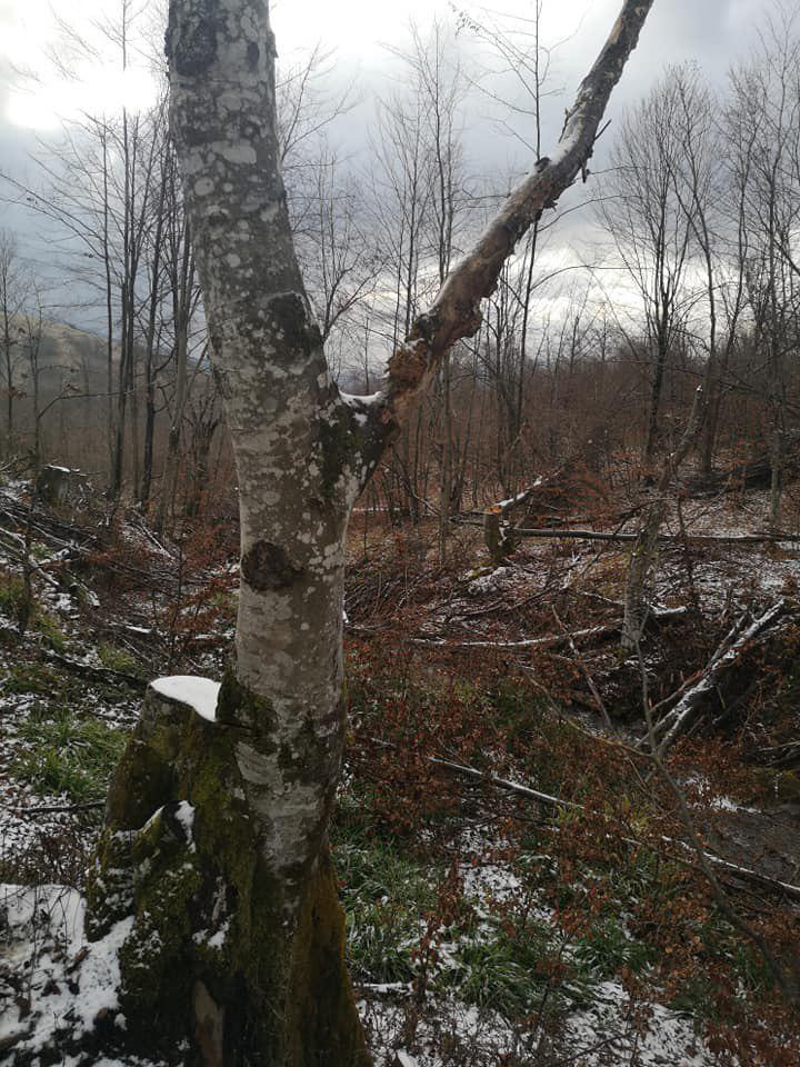 Закарпаття. Знищення старовікового лісу в Ужанському нацпарку продовжується