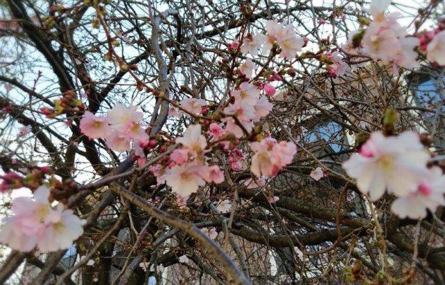 Це справжнє диво! Бруньки японських сакур розпускаються в Ужгороді