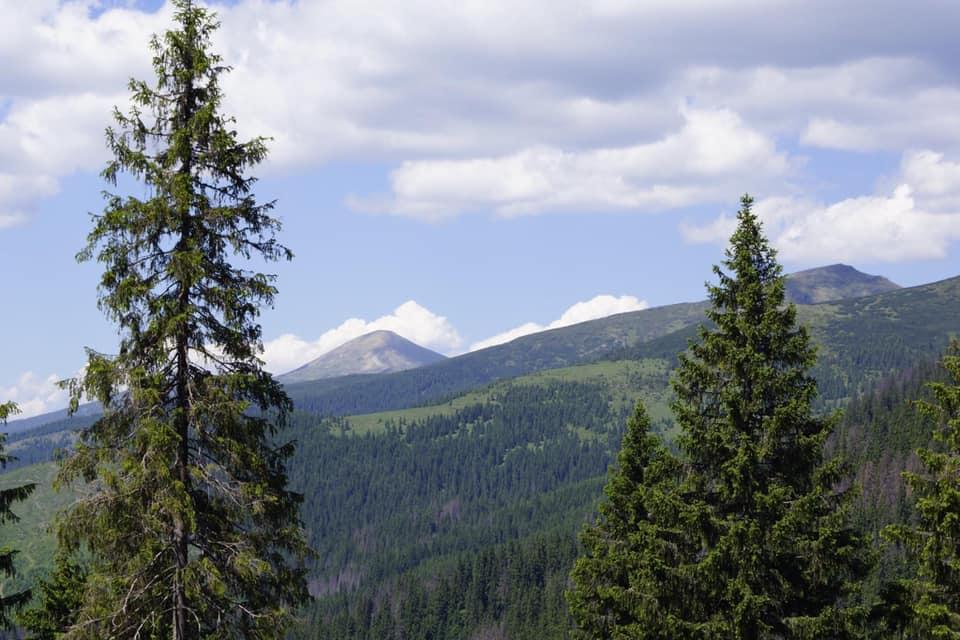В горах в Закарпатье массово усыхают ели