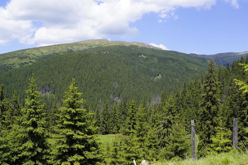 У горах Закарпаття масово всихають смереки (+ФОТО)