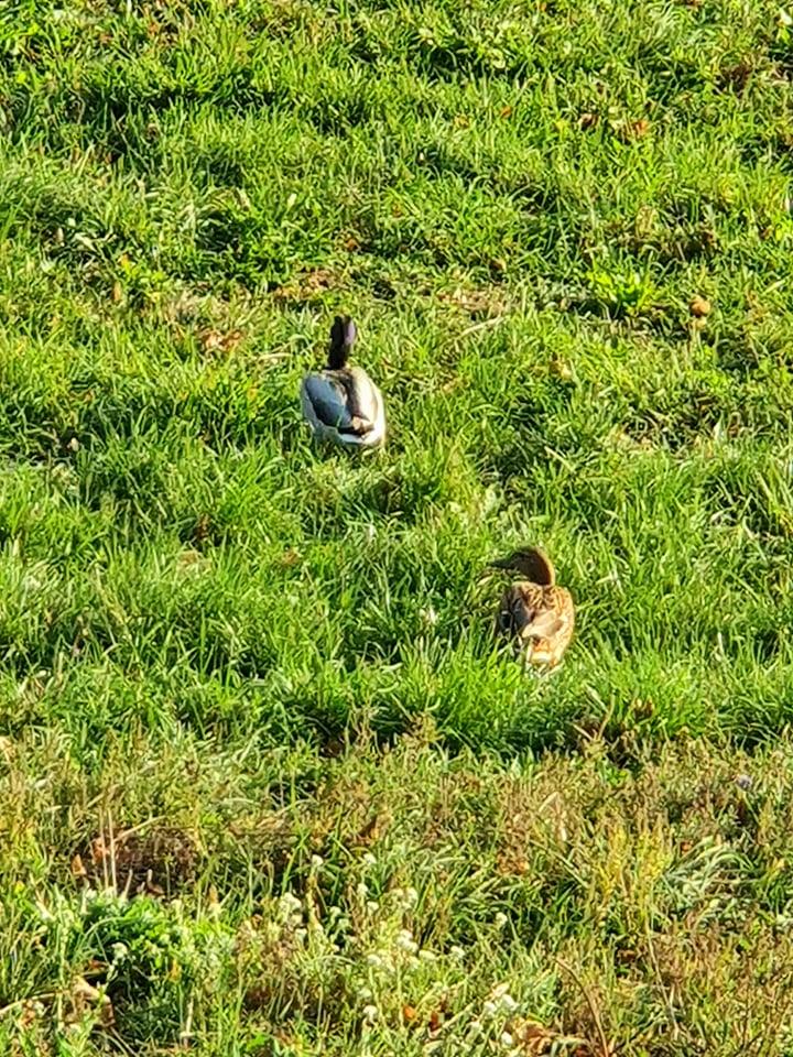 Ужгород. Качки вже кілька днів блукають у траві — пасуться