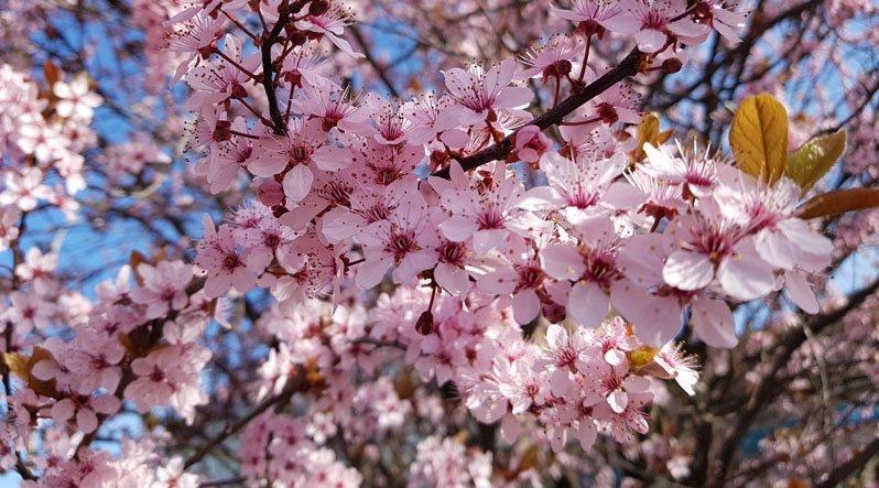 Ужгород розквітає: слива Піссарда, райські яблучка, сакури, мигдаль, юдине дерево