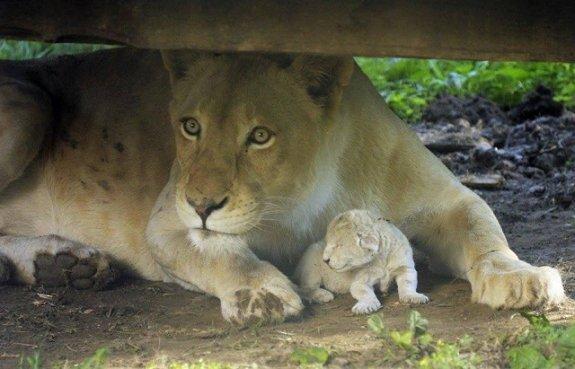 В зоопарке Ньиредьхазы родился белый львёнок
