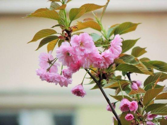 Цветение сакур - необычайно красивое зрелище