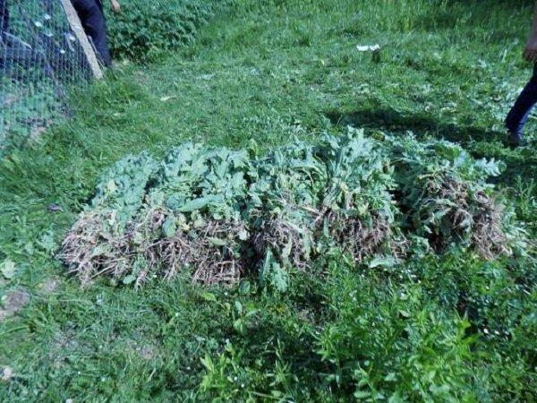 Закарпатцы незаконно выращивают наркотические растения