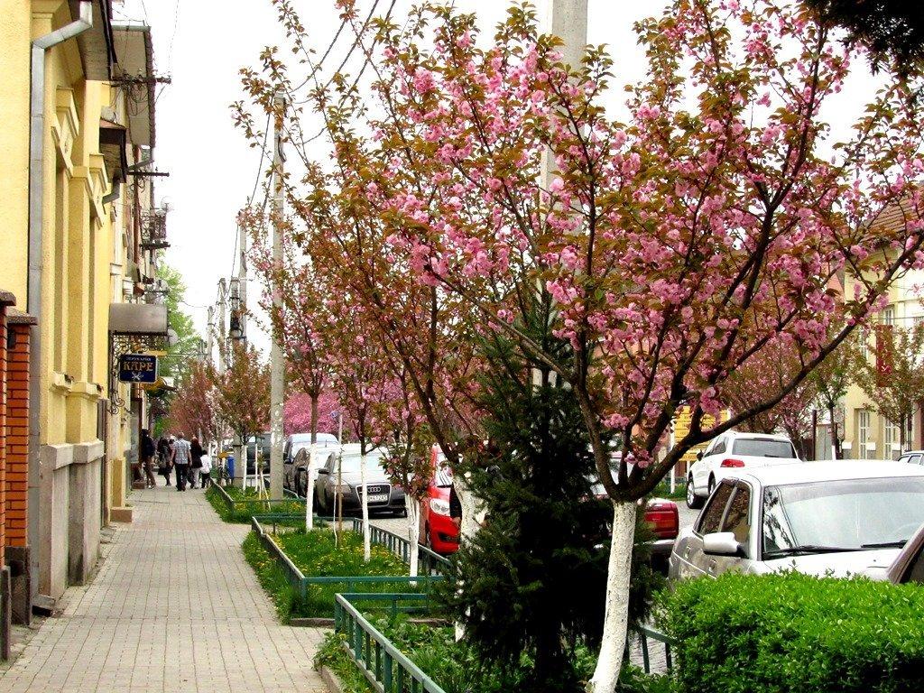 Цветение сакур в Мукачево