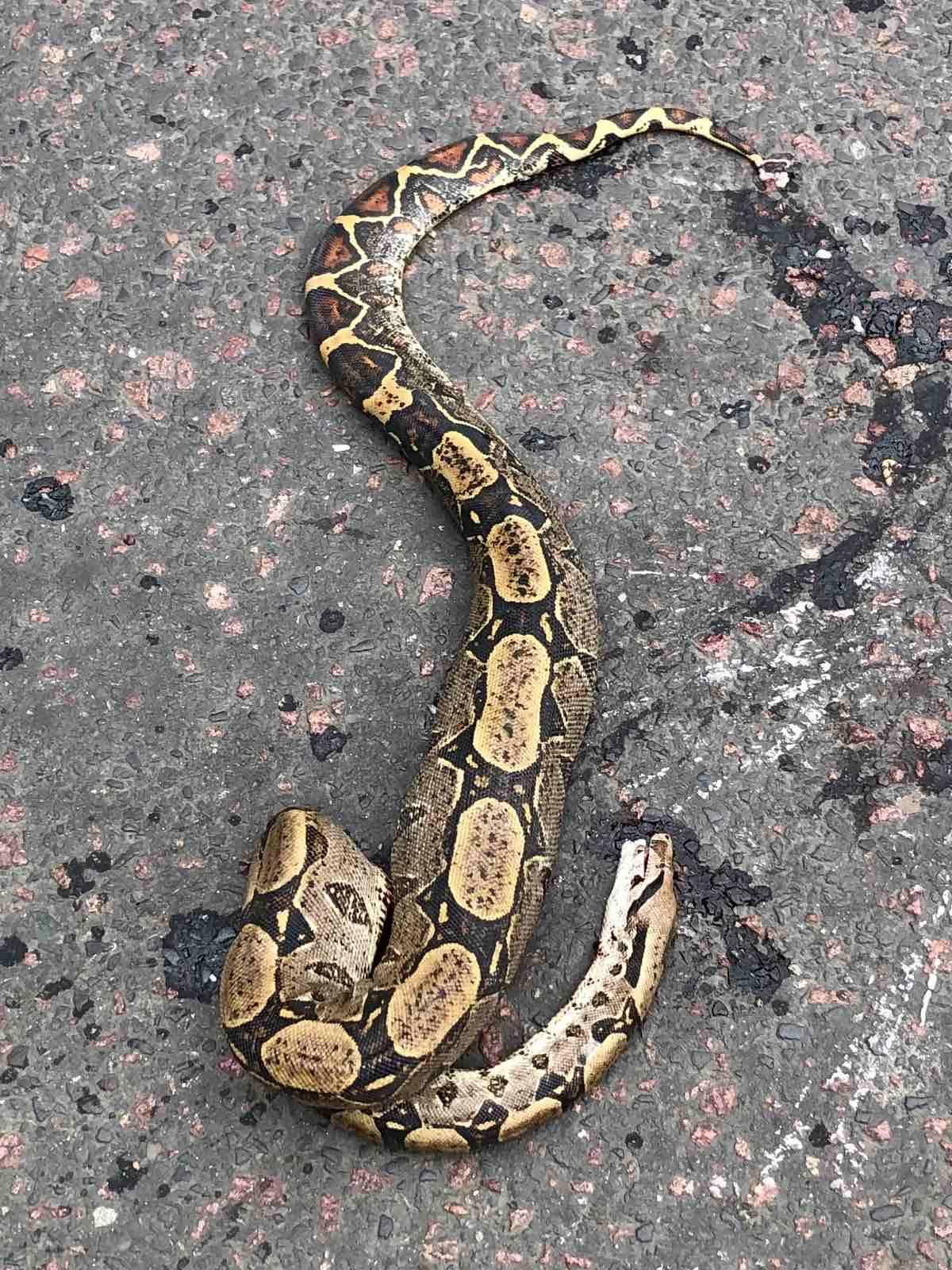 В Ужгороде у ресторана обнаружен труп экзотической змеи