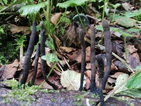"""В Закарпатье нашли очень редкий вид грибов - """"пальцы мертвеца"""""""