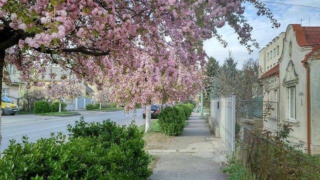 В Ужгороде начинают цвести сакуры!