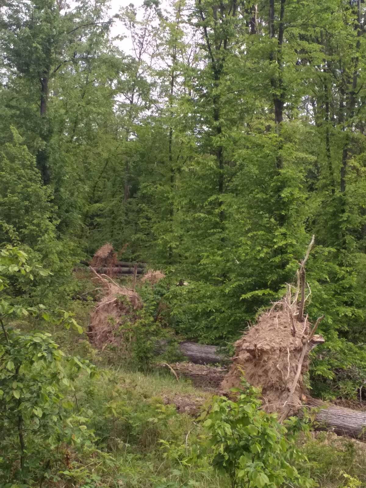 Закарпаття. На Берегівщині лісівники розбираються з наслідками весняних вітровалів