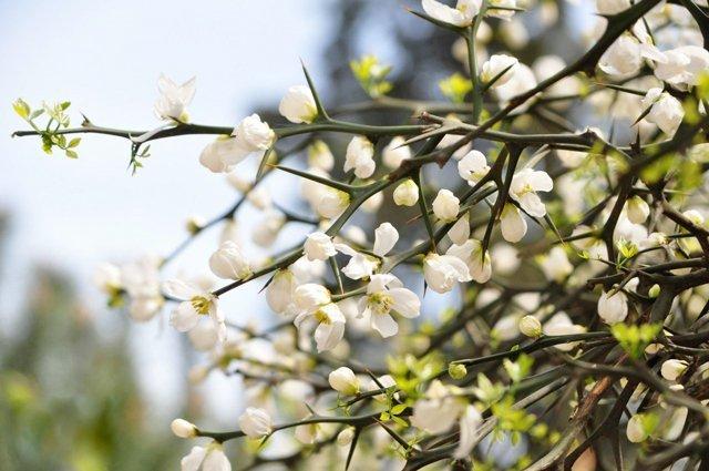 Цветение дикого лимона в Ужгороде
