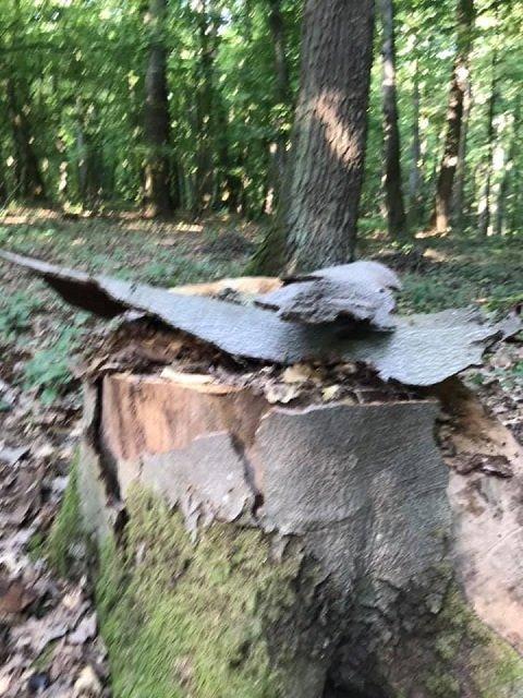 Леса недалеко от Ужгорода варварски вырубают: Крик о помощи разместили в соцсети
