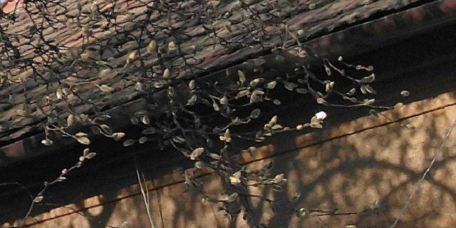 В сети появились кадры магнолии, которая цветет в Ужгороде