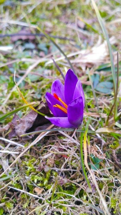 В горах появились первые цветы карпатского шафрана