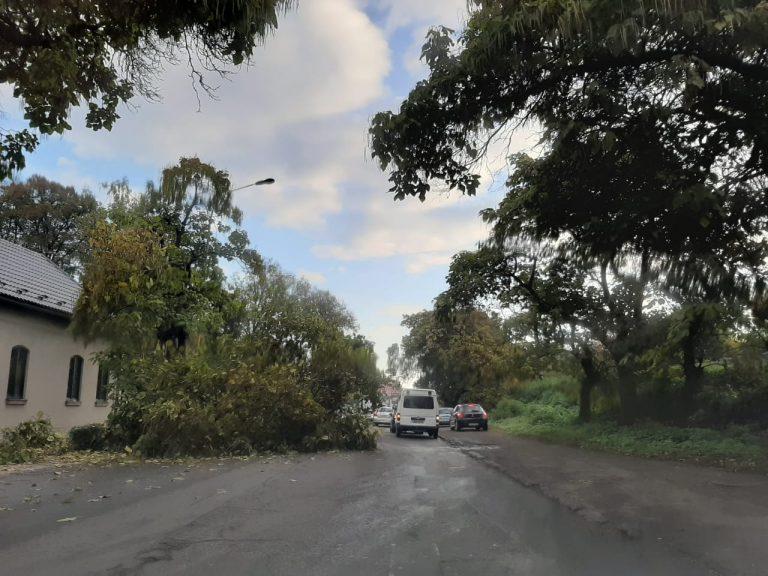 В Ужгороде большое дерево обвалилось на магистраль