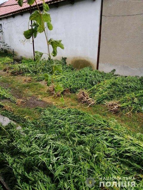 Наркодельцы лишились бизнеса: Около Ужгорода полицейские обнаружили участок с посевом марихуаны