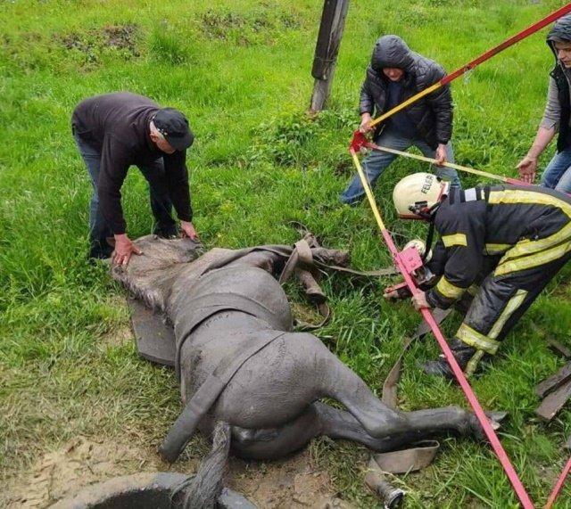 Нелегкая работа: В Закарпатье лошади, которая упала в канализационный люк помогли спасатели