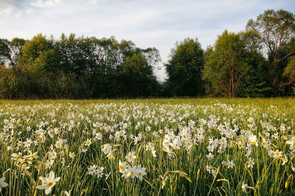 В Закарпатье цветет уникальная Долина нарциссов