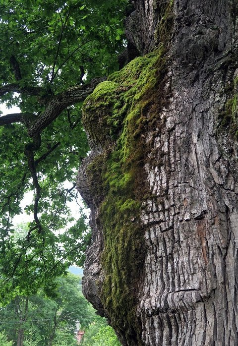 В Закарпатье Стужица славится 1000-летними дубами
