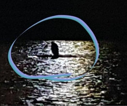 """""""Дикого моржа"""" виявили у річці в центрі Ужгорода"""