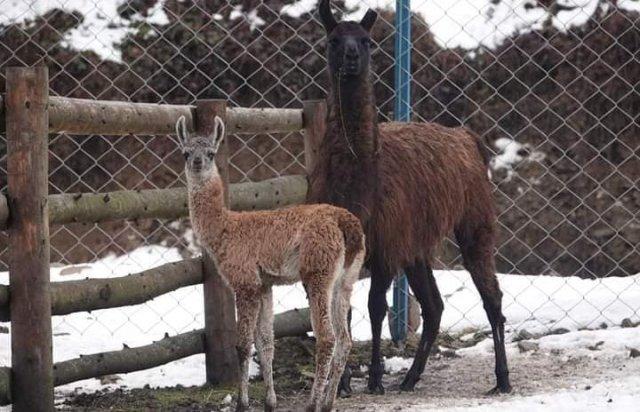 Новорожденная лама появилась на свет посреди зимы в Закарпатье