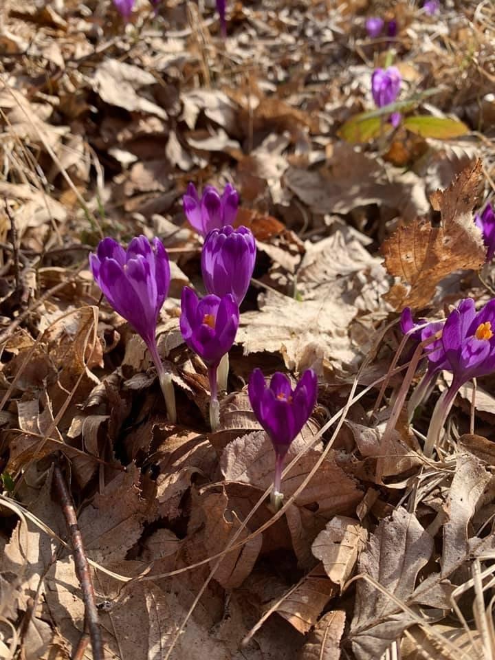 Перші весняні крокуси розквітли на Закарпаттті