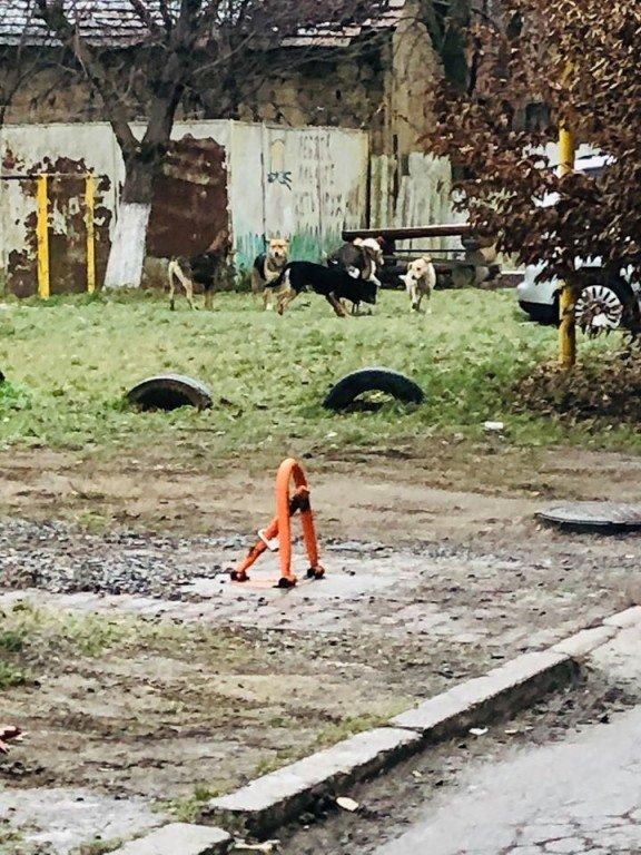 В Закарпатье из-за одной стаи люди боятся ходить по городу
