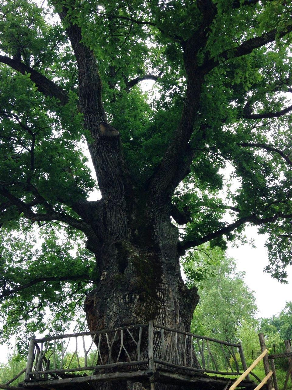 Закарпаття. Найстаріші дерева України ростуть у селі Стужиця