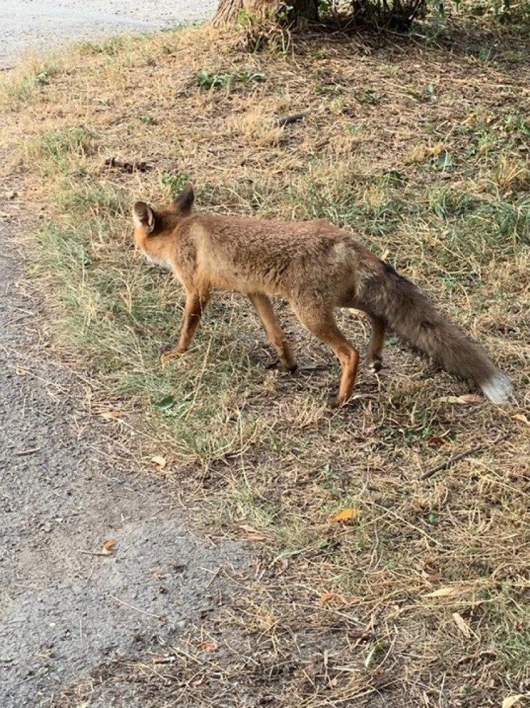 Может дернуть за шнурок: В Ужгороде прямо в парке к людям подбегает лиса