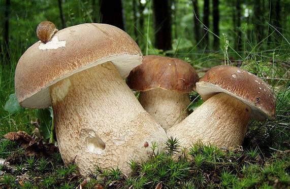 Крестьяне говорят, что грибов в дебрях пока немного