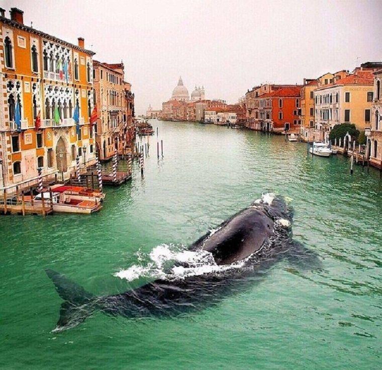 Вчера обескураженные жители Венеции обнаружили в своем канале кита