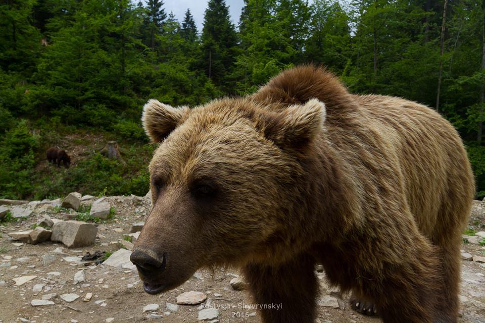 Реабилитационный центр бурого медведя в Межгорье