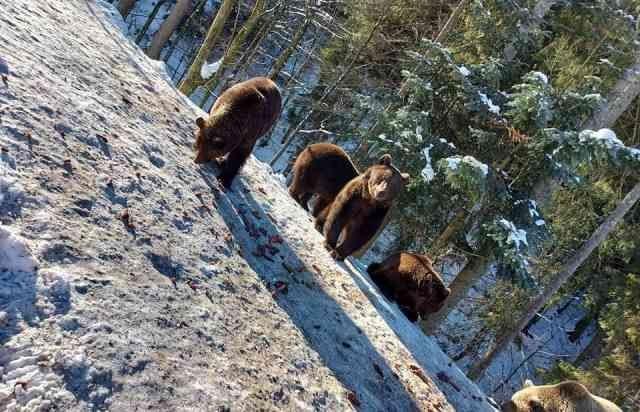 Свершилось!: В Закарпатье синевирские медвежата один за другим впадают в спячку