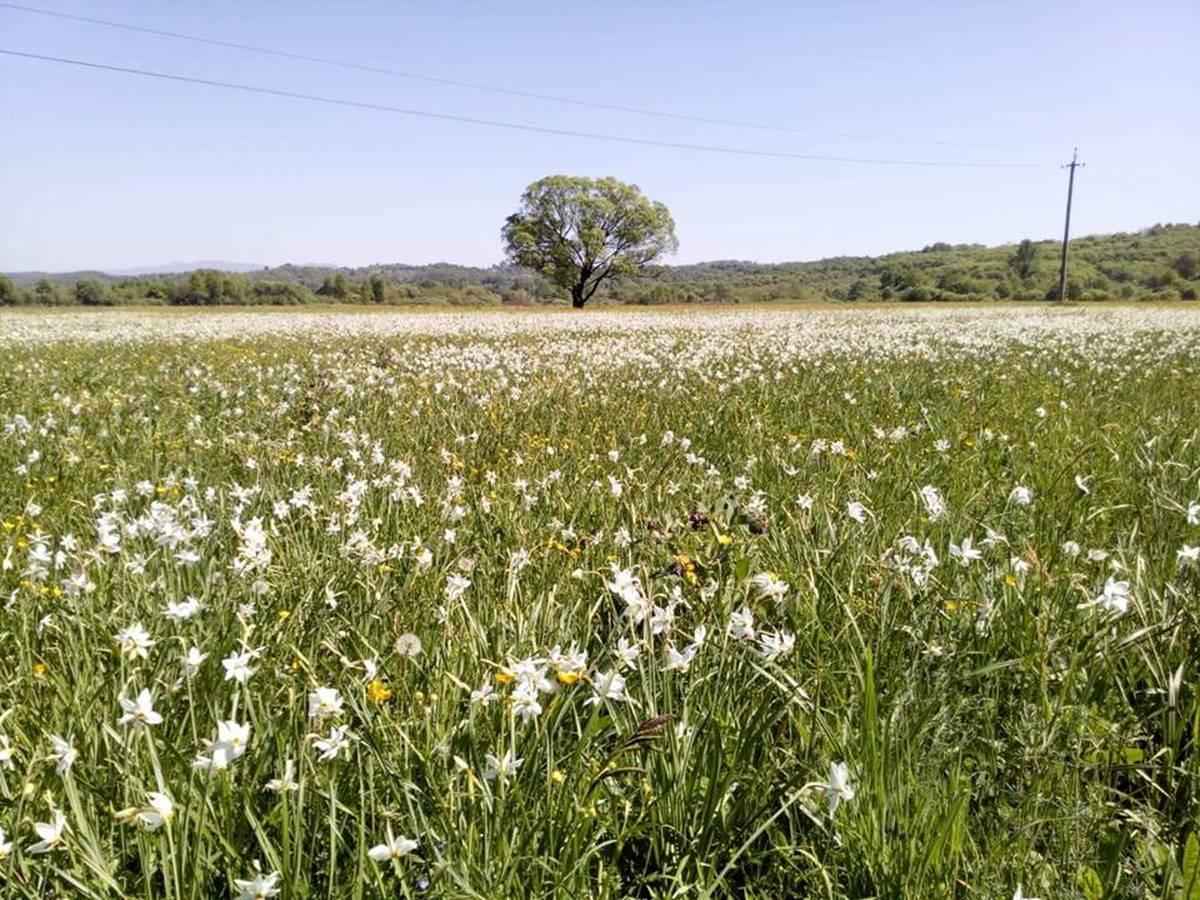 На Закарпатье в Долине нарциссов пик цветения