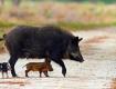 На Ужгородщині розпочалась депопуляція диких кабанів