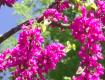 Екзотичне іудине дерево зацвіло в Ужгороді