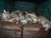 Охотники спасают Закарпатье от нашествия волков