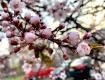 В областном центре Закарпатья уже зацвела сакура
