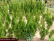 В Закарпатье чудотворцы выращивают одно из самых старинных растений